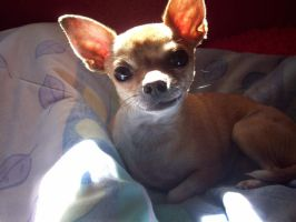 Gizmo the confussed Chihuahua by scoobster