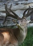 Red deer by Parides