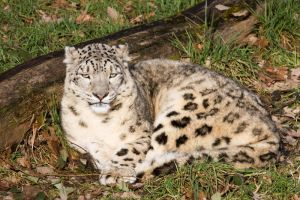 4779 - Snow leopard by Jay-Co