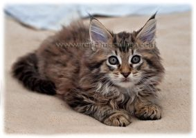 Maine Coon Kitten by substar