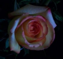 Dark Rose Swirl by frannienana