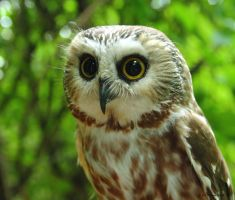 Little Sawwhet Owl by natureguy