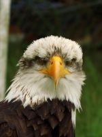 Bald Eagle 2 by EricaOscura