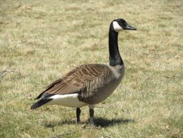 stock - canada goose by ribcage-menagerie