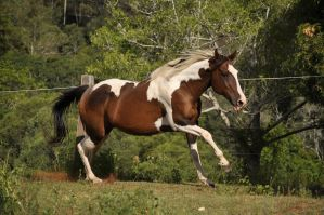Paint/Quarter Horse Mare Stock 8 Canter by naturalhorses