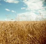 in the golden field by hombre-cz