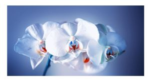 White orchids by Nataly1st