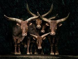Watusi cattle by abdalhakeem