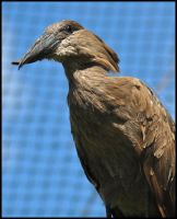 Cross billed Hammerkop by Somebody-Somewhere
