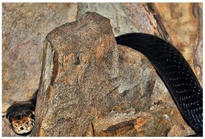 Black Forest Cobra by cannonshooter