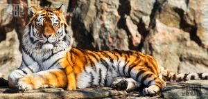 Amur Tiger by PictureByPali