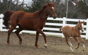 128 : Mother and Foal Running by Nylak-Stock