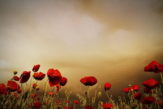 Poppies by Chris-Lamprianidis
