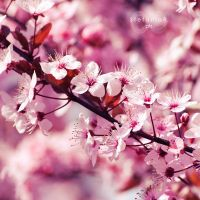 Blossoms by Stefania-R