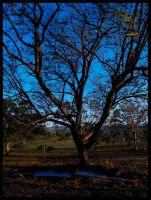 old tree by dannishez