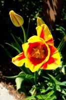 Red And Yellow Tulip III by LDFranklin