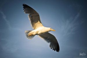Portuguese Gull by TheRenART