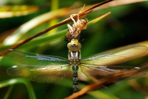 Hatching Dragonfly by ERB20