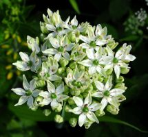 Large Allium And Some Teeny Bugs by Forestina-Fotos