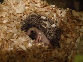 Lazy Hedgie is Lazy by cadillacphunque