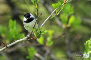 Black-capped Chickadee by sicmentale