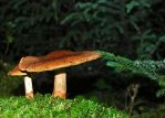 fungus 16 by LucieG-Stock