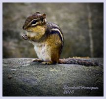 Munching Chipmunk by mariquasunbird1