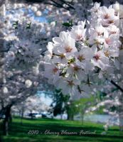 Cherry Blossom 2 by vungtau