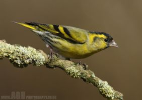 Siskin by Albi748