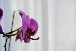 Orchid by fredrikaw