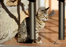 Gato atigrado by ColorShoot