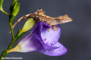 Crestie on a Freesia by AngiWallace