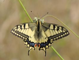 Old World Swallowtail by faithless12