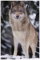 Grey Wolf, white Snow by W0LLE