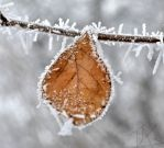 Frosted Leaf by TheGassman