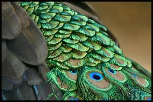 Peacock colour by jimbomp44