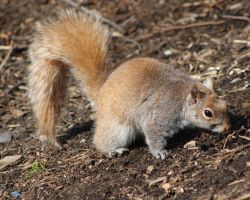Red Squirrel by Ohanzee