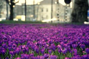 A field of purple flowers by Tasha0228x
