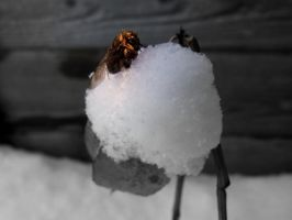 Bee in snow . by velar1