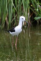 Black-winged Stilt by cycoze