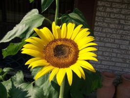 Sunflower by Fully-Stocked