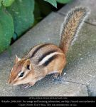 '09 Wildlife - Chipmunk - 04 by Ayelie-stock