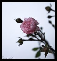 Winter rose by Gwynbleid