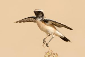 Take off - Desert Wheatear by Jamie-MacArthur