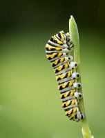Swallowtail Caterpillar by cheever