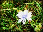 blue flower by gronodon