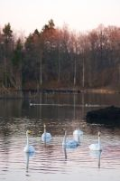 Even more swans by perost