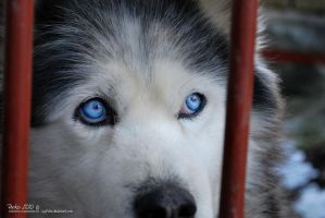 Kurt, the malamute 03 by LissiKete