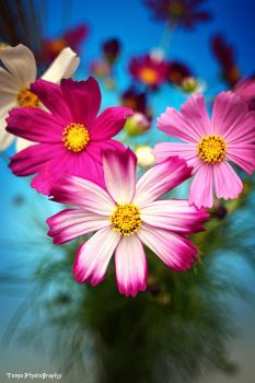 COSMOS COSMO by WindyLife