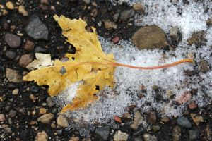 Yellow maple leave in ice by greyrowan